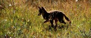 NOT A WOLF